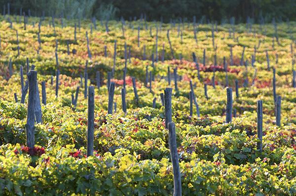 Scarpa vines