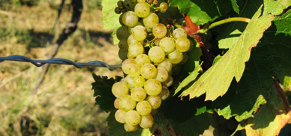 Riesling Grape Hirschhof_