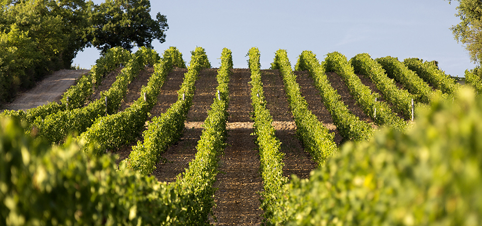 Il Poggione vines-2
