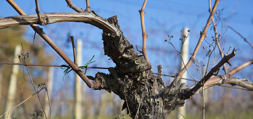 70year old vine
